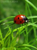 The Ladybug 4 by KSMPhotography