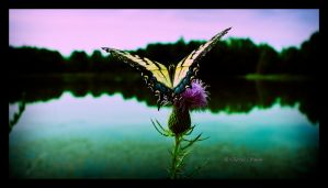 Butterfly on the Lake by DARRYL-SMITH