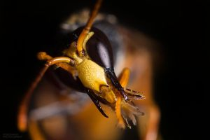 Feeding Time - Australian Potter Wasp by RDography