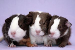 Guinea Pig Trio by Blueeyes0001