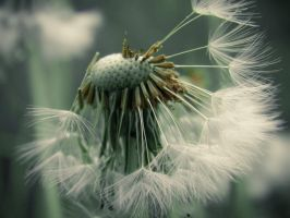 3582 - Last Dandy for Today by barefootphotos