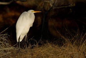 Egret on the Bank by bovey-photo