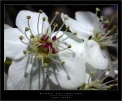 Pyrus Calleryana by wulfster