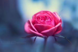 Winter rose by Alessia-Izzo