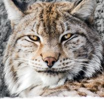 Bobcat Close-up Portrait I by OrangeRoom