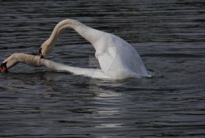 Swans in Love 2 by alanhay