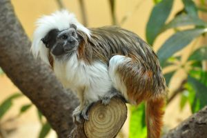 Copper top tamarin 1 by wildplaces