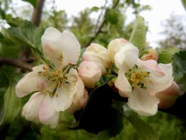 Apple Blossom by michawolf13