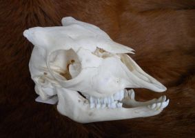 Young Domestic Goat Skull by Minotaur-Queen