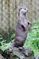 Otter 02 by LydiardWildlife