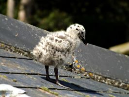 Young Seagull by Lydiart95