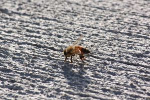 00118 - Bee on Lined Pavement by emstock