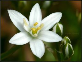 star of Bethlehem by Ingelore