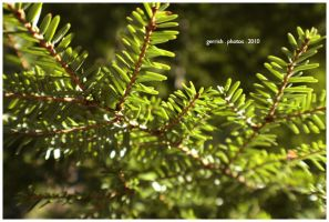 78 - Pine Needles by gerrish