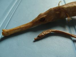 Greater pipefish and Worm Pipefish by Lot1rthylacine