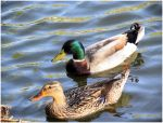 Mallards by SuicideBySafetyPin