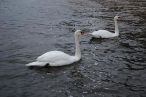 The Swans by feainne-stock
