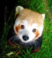 Red Panda by gingersnap16