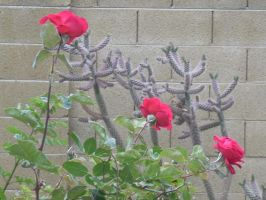 Chrysler Imperial Rose and Jumping Cholla-01 by hummingbird88