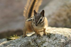Chipmunk 2 by I-Heart-Photos