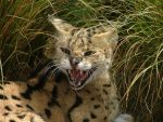 Serious Serval by xpd