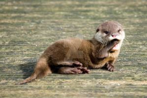 baby otter - yawning by photographybypixie