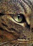 Eye Of The Tabby Cat by SymmetryIsKeyDTK