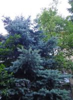 Pine blue tree by Pierce20