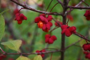 Spindle Tree by MeFlyingFree