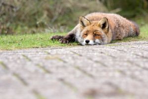 The Lazy Fox by AngelaLouwe