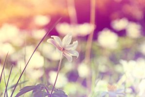 Anemone nemorosa by emshh