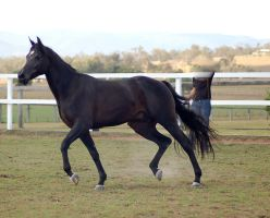 GE Arab black trot side view by Chunga-Stock