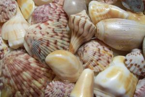 Seashell texture 3 by paintresseye