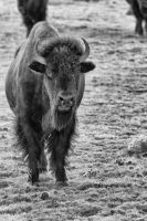 Single Buffalo by jbkalla