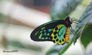 Birdwing Butterfly 02 by DanielleMiner