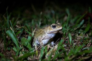 Asian Common Toad by SodiumTritide