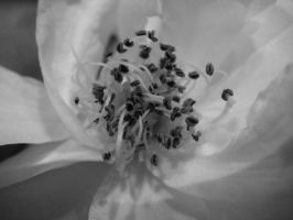 Black and White - Flower by jimmy-tm