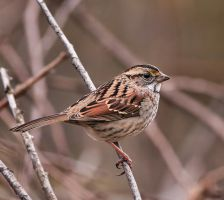 White throated Sparrow by purple007