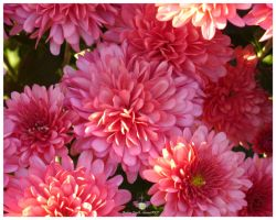 Chrysanthemums by anjicle