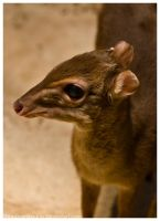 Blue Backed Duiker 003 by ShineOverShadow