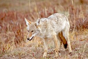 Prowling Yellowstone Coyote by Kippenwolf