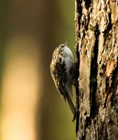 Tree creeper by mv79