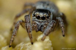 139.Jumping spider by Bullter
