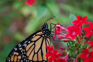 Monarch Butterfly Stock 9 by chamberstock