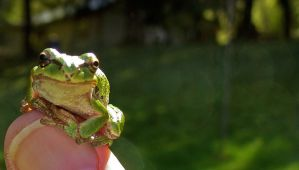 Tiny Frog On Thumb by PamplemousseCeil