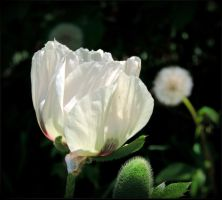 White Royal Poppy by JocelyneR