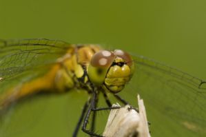 dragonfly2 by Makargina