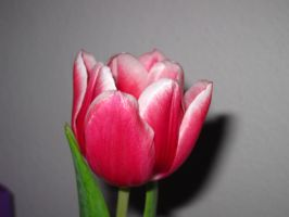 Tulip Close-up by beekay84