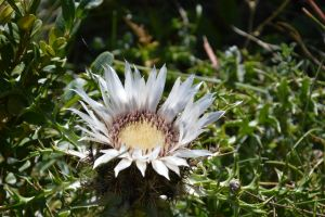 Flowery Alps thistle by A1Z2E3R