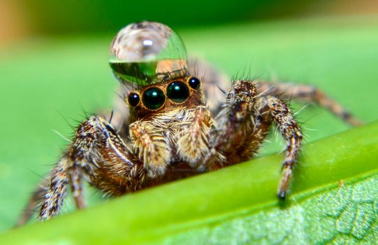 Jumping spider water hat - photo#16